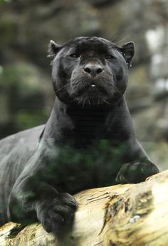 Mowgli, Ed. zoo's male black jaguar Powered by: JeffThings Big Cats, Cool Cats, Cats And Kittens, Beautiful Cats, Animals Beautiful, Cute Animals, Black Panthers, Gato Grande, Exotic Cats