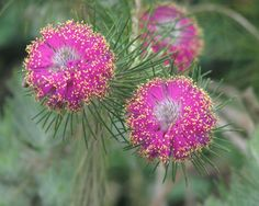 Tea Tree (Melaleuca trichostachya) A shrub which is endemic to the south-west of Western Australia. It's pink or purple flowers appear from August to December. Australian Wildflowers, Australian Native Flowers, Australian Plants, Exotic Flowers, Colorful Flowers, Purple Flowers, Beautiful Flowers, Strange Flowers, Australian Native Garden