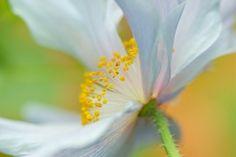 fleur, pétales, pavot, plante, nature