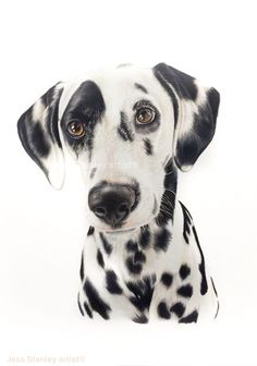 Marzi the Dalmatian portrait in coloured pencil by. Jess Stanley artist