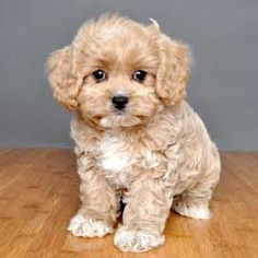 Cav-a-Poo (Cavalier King Charles Spaniel + Poodle) puppy Puppies And Kitties, Cute Puppies, Pet Dogs, Dog Cat, Doggies, Teddy Bear Puppies, Cute Baby Animals, Animals And Pets, Cavapoo Puppies