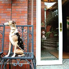 Happy Friday !  http://www.domodossola-lucianorosetta.com/  #italiangreyhound #dog #felicemifa #hund #withdogs #lovelydog #model #イタリアングレイハウンド #イタグレ #犬 #洋服 #洋服屋  #雑誌 #モデル #fashion #design