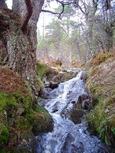 Caledonian Pine forest and stream near Loch an Eang - inspiration for The Runaway Bride, a #medieval #Scottish romance by #ClaireDelacroix #Ravensmuir