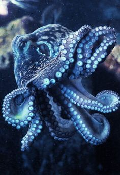Octopus Vulgaris (by Joachim S. Muller)