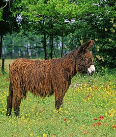 A Baudet du Poitou, an ancient French donkey breed famous for its dreadlocks. Since the 10th century AD, the Poitou has been a preferred choice for breeding mules.