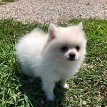 Pomeranian Puppies for Sale White Pomeranian Puppies, Cockapoo Puppies, Pomeranians, Cute Dogs And Puppies, Baby Dogs, Puppies For Sale, Doggies, Dog Photos, Dog Pictures