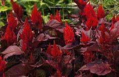 Celosia argentea 'New Look Red'
