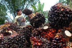 """Ketua Asosiasi Pemerintahan Kabupaten Seluruh Indonesia (APKASI) Isran Noor mengatakan selama ini koperasi petani sawit yang ada masih berskala kecil, sehingga membuat usaha kebun sawit tidak dapat menikmati manfaat skala atau economic scale yang seharusnya. """"Agar bisa berkembang maka pengembangan koperasi sebagai organisasi ekonomi kolektif para petani sawit perlu dipercepat pengembangannya kedepan,"""" katanya dalam seminar Penguatan Ekonomi Petani"""