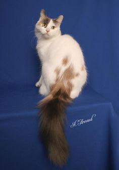 turkish van champion - LONG tails Purebred Cats, Herding Cats, Lykoi Cat, Werewolf Cat, Tortoiseshell Tabby, Turkish Van Cats, Toxic Plants For Cats, Angora Cats, Exotic Cats