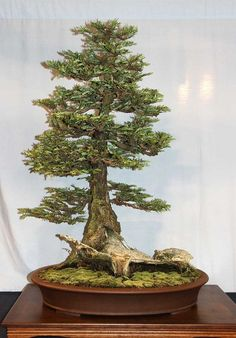 Coast Redwood #bonsai Tree