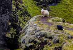 icelandic sheep and dog