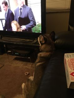 LowKey likes to watch The Office #dogpictures #dogs #aww #cuteanimals #dogsoftwitter #dog #cute