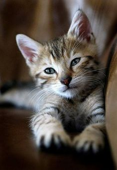 Picking whether to adopt a Male Maine Coon or Female Maine Coon Cat is not easy as both genders offer up different traits that make them good house pets. * Read more info by clicking the link on the image. #catsandkittens