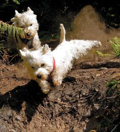 Getting down & dirty. Westies ready for action!