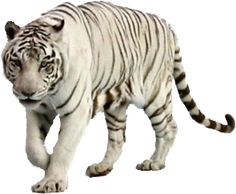 tigre blanco png - Buscar con Google
