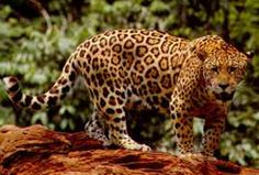Last month, research cameras revealed the presence of a healthy male jaguar less than forty miles south of Tucson, Arizona. Big cat makes a comeback? Wtf Fun Facts, Funny Facts, Random Facts, Cat Facts, The More You Know, Did You Know, Animal Jaguar, Jaguar Leopard, Black Jaguar