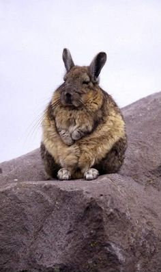 Meditating viscacha (not a bunny - closer to a chinchilla - but some convergent evolution going on here)