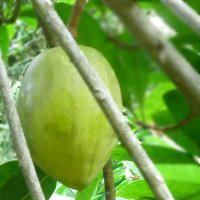 Health Benefits of Kakadu Plum  20 times more vitamin C than oranges!