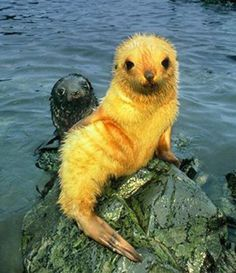 A blonde seal posing for the camera.