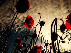 Gallery - Poppies | Monika Krol Photography
