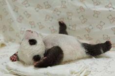 Taipei, il bacio di mamma panda al suo cucciolo