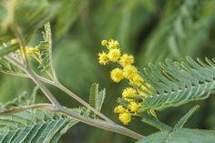Mimosas Mimosas, Roadtrip, Flowers, Plants, Travel Advice, Viajes, Plant, Royal Icing Flowers, Flower