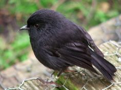 Black Robin or Chatham Island Robin (Petroica traversi) on Rangatira Island. an endangered bird from the Chatham Islands off the east coast of New Zealand. It is closely related to the New Zealand robin (P. Small Birds, Little Birds, Pretty Birds, Beautiful Birds, Animals And Pets, Cute Animals, Chatham Islands, European Robin, Robin Bird