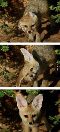 Fox fixes his floppy ears. Found this awkwardly cute haha