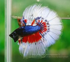 Red, white and blue fancy