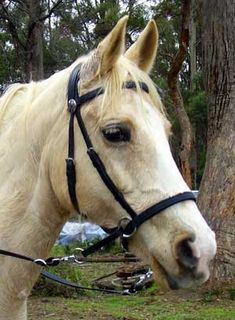 Dr Cooks Bitless bridle---love this for my horse!!