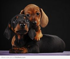 two little daschunds-- the sweetest doggies ever!!