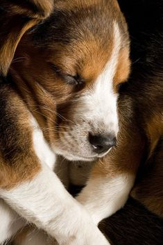 #Beagle taking a nap after a long walk  Fetch more cute pinworthy #dogs by clicking on this pic