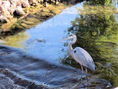 Great Blue Heron, fishing. Blue Heron, Arizona, Fishing, Bird, Animals, Animales, Animaux, Birds, Animal