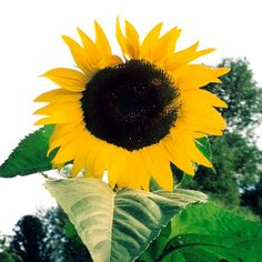 Organic BLACK MAMMOTH Sunflower is prized for its gigantic flowers and abundant, nutritious seed. As it matures, the head of the stalk bends down to easily