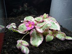 Episcia vanille fraise et floraison rose bonbon http://www.pariscotejardin.fr/2013/05/episcia-vanille-fraise-et-floraison-rose-bonbon/