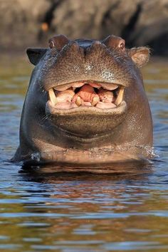 Smiling Hippo