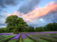 Lavender Field at Sunset, Surrey, England