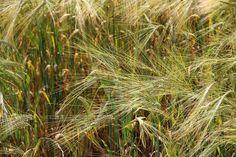 2013-07-16: ears of wheat