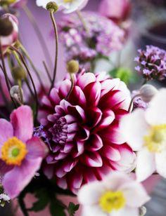 Dahlia. Flowers. Bloemen