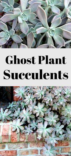 These plants are amazing! #ad #ghostplant #pottedghostplant #succulent #succulentplants #succulentsforoutdoors #fairygardenplants #fairygardenideas
