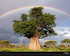 Baoba arvore africana