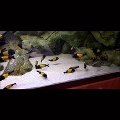 Aquarium Sump, Cichlid Aquarium, Aquarium Fish Tank, Tiger Fish, Pet Fish, Aquarium Architecture, Terrariums, Cool Fish Tanks, Amazing Aquariums