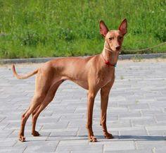 Cirneco dell Etna dog photo | Cirneco dell etna * Sicilian hound * kennel Cyrenensis