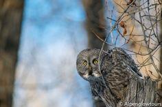 Great Grey Owl, Grand Teton National Park