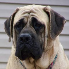 Mastiffs were bred for war but today commonly serve as service dogs