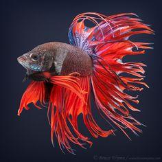 Bruce Wyma, Betta Fish