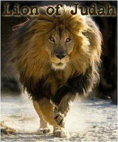 Proverbs righteous are as bold as a lion. Proverbs lion never retreats. Beautiful Lion, Animals Beautiful, Gorgeous Gorgeous, Simply Beautiful, Animals And Pets, Cute Animals, Large Animals, Image Chat, Male Lion