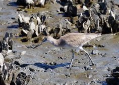Willet among the oysters