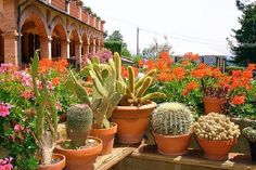 pots of cactus with pelargoniums