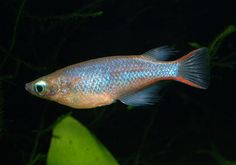 This species was discovered in 2009 and as far as we know it has only been collected for the aquarium hobby on a single occasion to date, by Jeffrey Christian of Maju Aquarium, Frank Evers and Hans-Georg Evers.  Prior to description it was referred to as O. sp. 'Kendari', O. sp. 'neon' or O. sp. 'Sulawesi'.